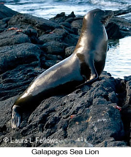 Galapagos Sea Lion - © Laura L Fellows and Exotic Birding LLC