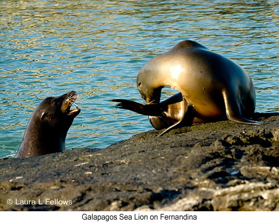 Galapagos Sea Lion - © Laura L Fellows and Exotic Birding Tours