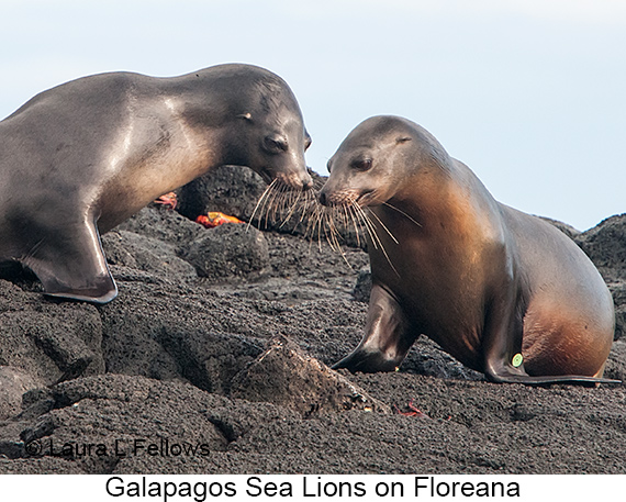 Galapagos Sea Lion - © The Photographer and Exotic Birding LLC