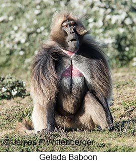 Gelada - © James F Wittenberger and Exotic Birding LLC