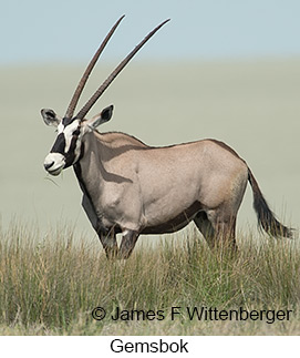 Gemsbok - © James F Wittenberger and Exotic Birding LLC