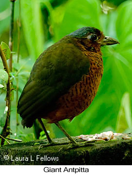 Giant Antpitta - © Laura L Fellows and Exotic Birding Tours