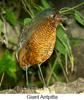 Giant Antpitta - © Laura L Fellows and Exotic Birding LLC