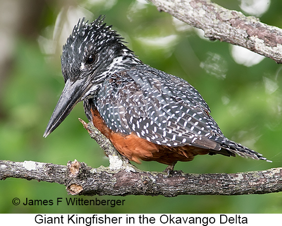 Giant Kingfisher - © James F Wittenberger and Exotic Birding LLC