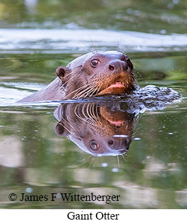 Giant Otter - © James F Wittenberger and Exotic Birding LLC