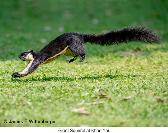 Giant Squirrel - © James F Wittenberger and Exotic Birding Tours