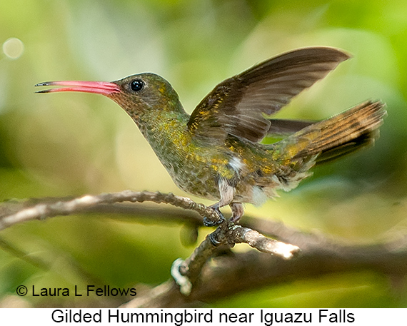 Gilded Hummingbird - © Laura L Fellows and Exotic Birding Tours