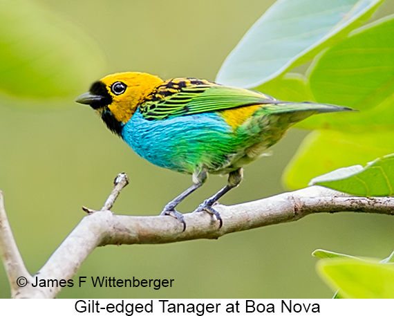 Gilt-edged Tanager - © James F Wittenberger and Exotic Birding LLC