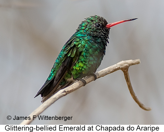 Glittering-bellied Emerald - © James F Wittenberger and Exotic Birding LLC