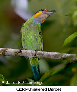 Gold-whiskered Barbet - © James F Wittenberger and Exotic Birding Tours