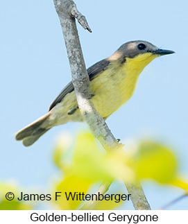 Golden-bellied Gerygone - © James F Wittenberger and Exotic Birding Tours