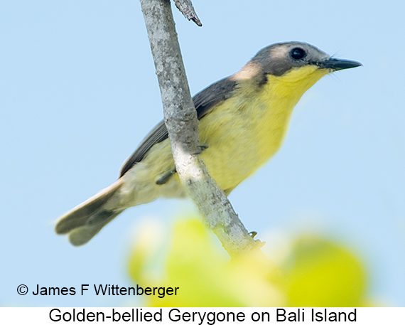 Golden-bellied Gerygone - © James F Wittenberger and Exotic Birding LLC