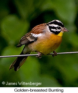 Golden-breasted Bunting - © James F Wittenberger and Exotic Birding Tours