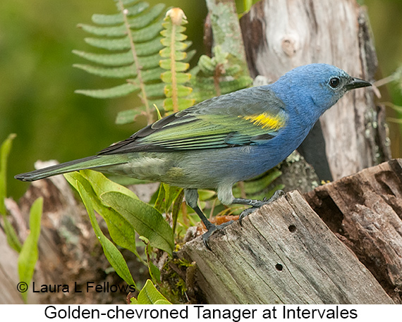 Golden-chevroned Tanager - © The Photographer and Exotic Birding LLC