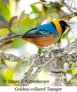 Golden-collared Tanager - © James F Wittenberger and Exotic Birding LLC