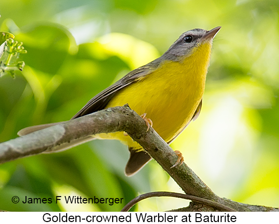 Golden-crowned Warbler - © The Photographer and Exotic Birding LLC