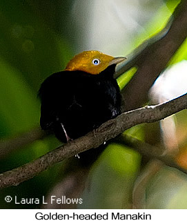 Golden-headed Manakin - © Laura L Fellows and Exotic Birding Tours