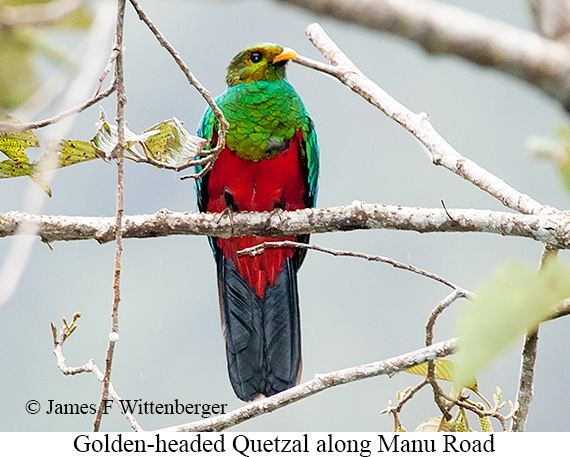 Golden-headed Quetzal - © James F Wittenberger and Exotic Birding Tours