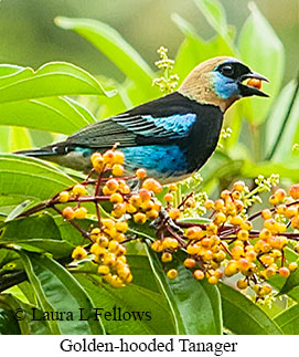 Golden-hooded Tanager - © Laura L Fellows and Exotic Birding Tours