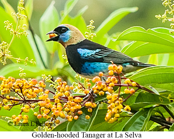 Golden-hooded Tanager - © Laura L Fellows and Exotic Birding LLC