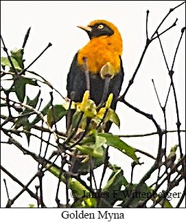 Golden Myna - © James F Wittenberger and Exotic Birding Tours