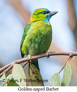 Golden-naped Barbet - © James F Wittenberger and Exotic Birding Tours