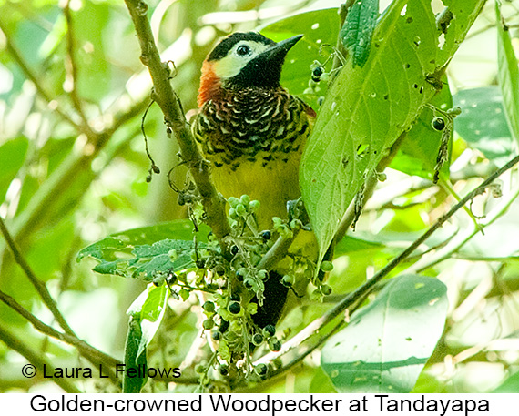 Golden-olive Woodpecker - © Laura L Fellows and Exotic Birding LLC