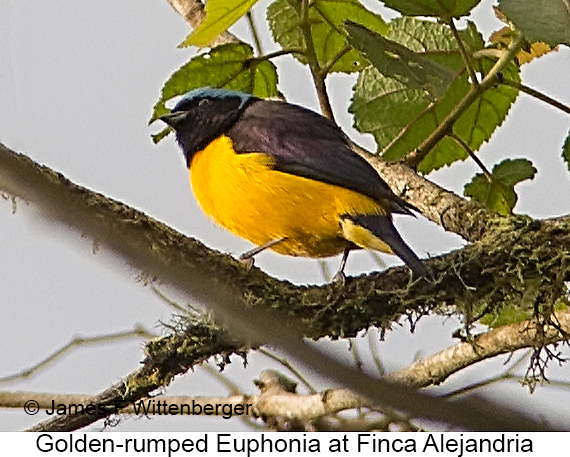 Golden-rumped Euphonia - © The Photographer and Exotic Birding LLC