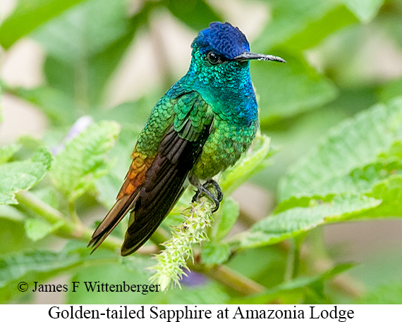 Golden-tailed Sapphire - © James F Wittenberger and Exotic Birding Tours