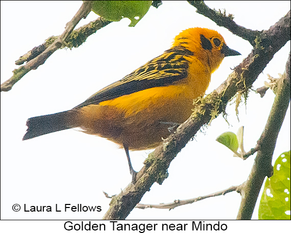 Golden Tanager - © Laura L Fellows and Exotic Birding LLC