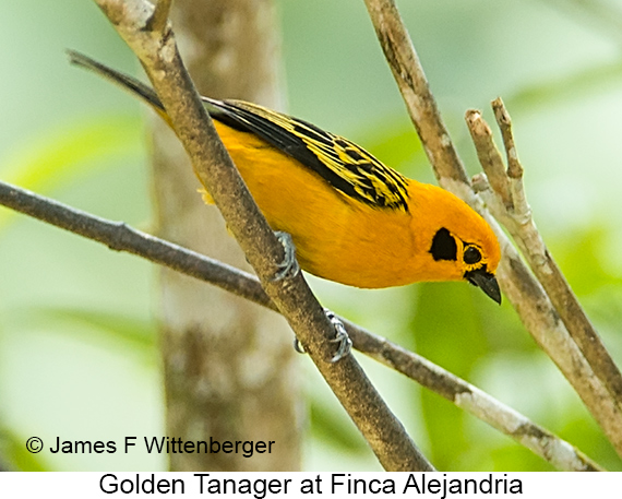 Golden Tanager - © James F Wittenberger and Exotic Birding LLC
