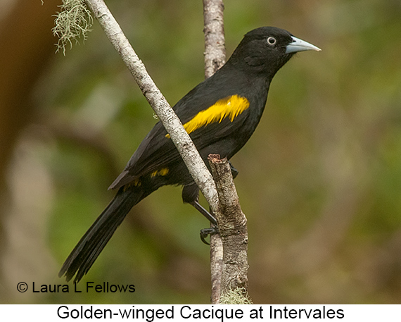 Golden-winged Cacique - © Laura L Fellows and Exotic Birding LLC