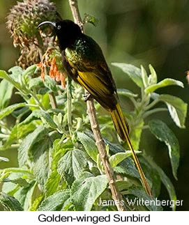 Golden-winged Sunbird - © James F Wittenberger and Exotic Birding Tours