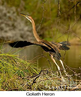 Goliath Heron - © Laura L Fellows and Exotic Birding LLC