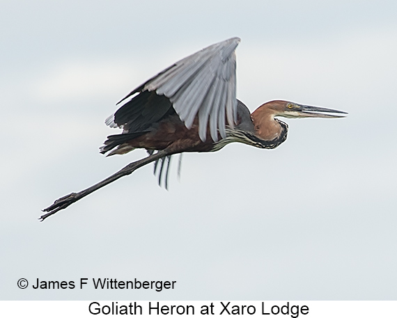 Goliath Heron - © Laura L Fellows and Exotic Birding Tours