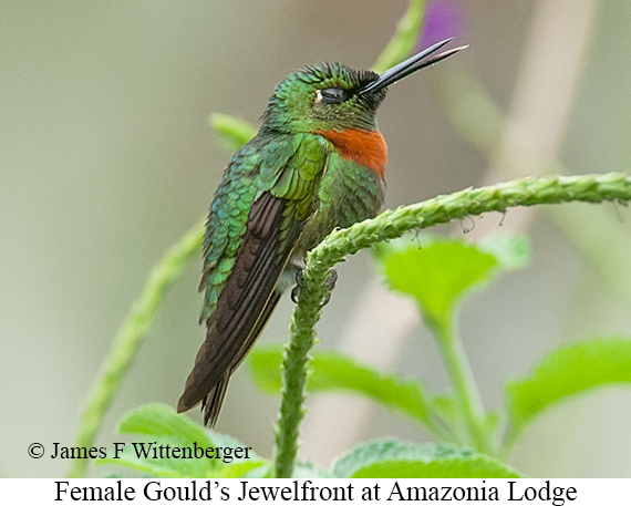 Gould's Jewelfront - © James F Wittenberger and Exotic Birding Tours