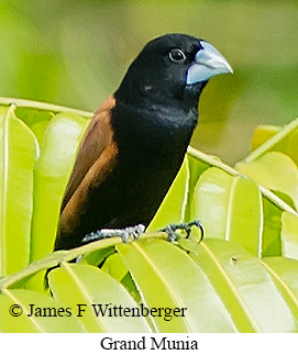 Grand Munia - © James F Wittenberger and Exotic Birding Tours