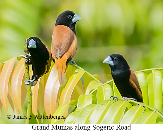Grand Munia - © James F Wittenberger and Exotic Birding LLC