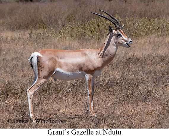 Grant's Gazelle - © James F Wittenberger and Exotic Birding Tours