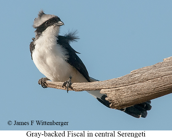 Gray-backed Fiscal - © James F Wittenberger and Exotic Birding LLC