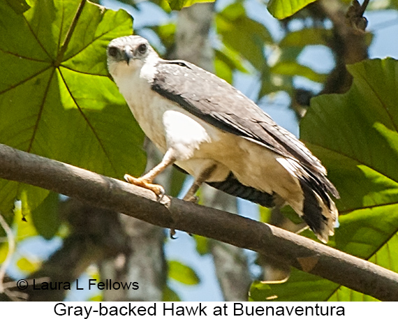 Gray-backed Hawk - © Laura L Fellows and Exotic Birding LLC