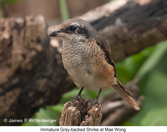 Gray-backed Shrike - © James F Wittenberger and Exotic Birding Tours
