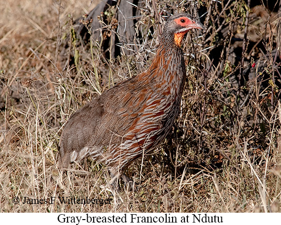 Gray-breasted Francolin - © James F Wittenberger and Exotic Birding LLC