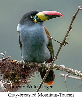 Gray-breasted Mountain-Toucan - © James F Wittenberger and Exotic Birding Tours