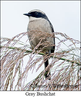 Gray Bushchat - © James F Wittenberger and Exotic Birding Tours
