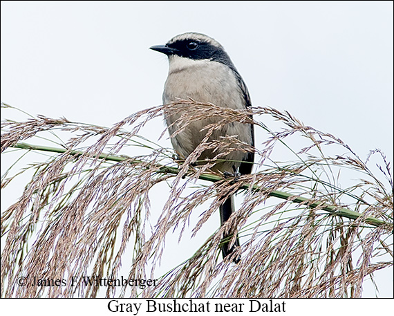 Gray Bushchat - © James F Wittenberger and Exotic Birding LLC