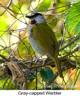 Gray-capped Warbler - © James F Wittenberger and Exotic Birding Tours