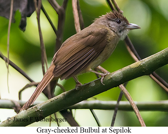 Gray-cheeked Bulbul - © James F Wittenberger and Exotic Birding Tours