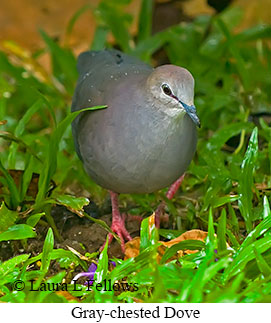 Gray-chested Dove - © Laura L Fellows and Exotic Birding LLC