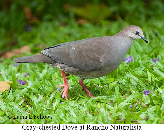 Gray-chested Dove - © Laura L Fellows and Exotic Birding Tours